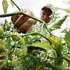 Josh Asherton looks to see if any of the tomatoes  he has grown and planted are ripe enough to pick on a plof of land on Cedar Street in Wenham. Asherton, a student at Beverly High School plans to go to college for farming. PHoto by Deborah Parker/August 5, 2009