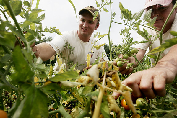 Josh Asherton works with his mentor, Marilyn Donati to pick several tomatoes he has grown and planted on a plof of land on Cedar Street in Wenham. Asherton, a student at Beverly High School plans to go to college for farming. PHoto by Deborah Parker/August 5, 2009