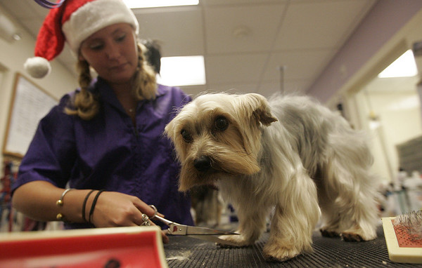 Beverly : Krista Weston of Danvers grooms a dog before its Christmas portrait with Santa Claus at Dogs by Design & Cats Too Saturday morning. The business hosted a fundraiser on Nov. 29 to raise money to buy animal resuscitation machines for the Beverly Fire Department. The machines are used to revive animals who have been overcome in fires. For $15, families could get their pictures with Santa and two elves. The photos were posted immediately on the store's Web site and can be downloaded to be used as a holiday card. Photo by Deborah Parker/Salem News Saturday, November 29, 2008