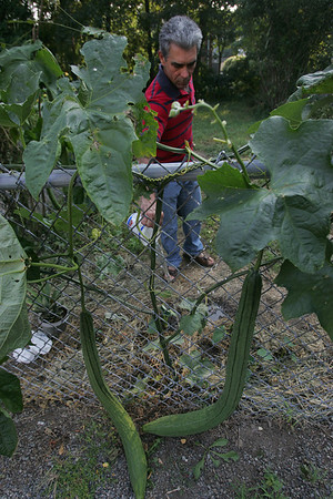 Albino Caliman waters his Brazilian plant that he grew in his back yard. It's fruit is supposedly 4-feet long and, once dried, it is used as a body scrub he says. PHoto by Deborah parker/september 3, 2010