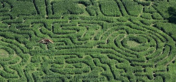 Corn maze at Marini Farm in Ipswich. Photo by Deborah Parker/August 27, 2009