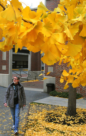 Salem:<br /> John Jardine, of Alberta, Canada, walks by the bright yellow leaves of the ginkgo trees near the Visitor Center on Thursday. He was exploring Salem while his wife was at a seminar in Boston.<br /> Photo by Ken Yuszkus/Salem News, Thursday, November 17, 2011.