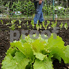 Salem:<br /> Peter Maitland walks in his garden near the lettuce at Maitland Mountain Farm. He will be bringing various vegetables and chicken eggs to the upcoming Farmers Markets.<br /> Photo by Ken Yuszkus/Salem News, Wednesday, June 10, 2009.