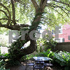 Salem:<br /> Table and chairs are shaded by the 180 plus year old apple tree. Jonathan and Jen Reardon's Chestnut Street garden will be featured on the Salem Garden Club's Garden Tour on July 11 and 12.<br /> Photo by Ken Yuszkus/Salem News, Monday, July 6, 2009.