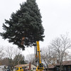 Danvers:<br /> Phil Blanchard, of Blanchard Riggers and Crane Services, guides the tree while it is maneuvered after it was cut at 14 Brookwood Lane.<br /> Photo by Ken Yuszkus/Salem News, Tuesday, November 15, 2011.