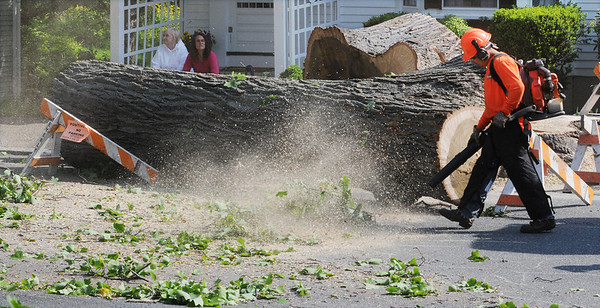 Beverly:<br /> A large tulip tree was cut down on Abbott Street. The city contracted a company to cut down the tulip tree.<br /> Photo by Ken Yuszkus/Salem News, Monday, May 17, 2010.