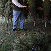 Beverly:<br /> Robert Preston unties a Christmas trees which will  be sold at the Moraine Farm/Project Adventure.<br /> Photo by Ken Yuszkus/Salem News, Friday, Decmber 4, 2009.