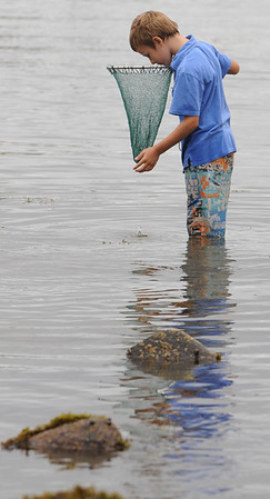 Marblehead:<br /> Lorenzo Knight looks into his net to see if caught anything while seaching for lobsters, crabs, and shrimp during low tide at Grace Oliver Beach.<br /> Photo by Ken Yuszkus/Salem News, Friday, August 5, 2011.