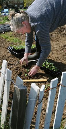 Salem:<br /> Lisa Spence places cabbage plants into the soil at the Palmer Cove Community Garden.<br /> Photo by Ken Yuszkus/Salem News, Tuesday, April 13, 2010.