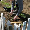 Salem:<br /> Lisa Spence places cabbage plants into the soil at the Palmer Cove Community Garden.<br /> Photo by Ken Yuszkus/Salem News, Tuesday, April 13, 2010.