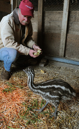 Peabody:<br /> Pat Kriksceonaitis, farm manager at Brooksby Farm, is in a pen with two baby emus, only one is pictured. The two emus were born April 8 and 14.<br /> Photo by Ken Yuszkus/Salem News, Monday, April 11, 2011.