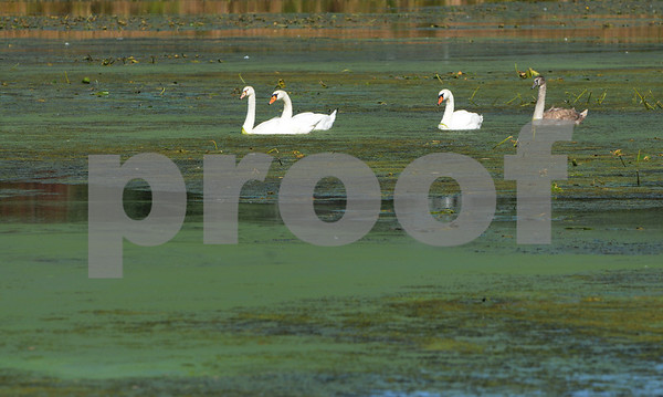 Peabody:<br /> Swans swim on Crystal Lake through the weeds. <br /> Photo by Ken Yuszkus/Salem News, Wednesday September 24, 2008.