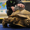 Salem:<br /> Dean Kosch shows his African tortoise and american rabbit while setting up at the the Annual Read Family Science Night at Bentley Elementary School on Thursday night.<br /> Photo by Ken Yuszkus/Salem News, Thursday, March 10, 2011.