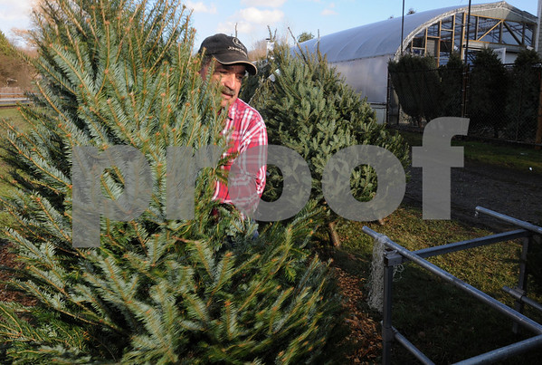 Danvers:<br /> Albie Petronzio, owner of Folly Hill Farm, arranges the Christmas trees which are for sale at his business. He also sells various holiday decorations.<br /> Photo by Ken Yuszkus/Salem News, Monday December 1, 2008.
