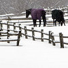 Wenham:<br /> Two horses are out in the light snow on Sunday morning.<br /> Photo by Ken Yuszkus/Salem News, Sunday, February 27, 2011.
