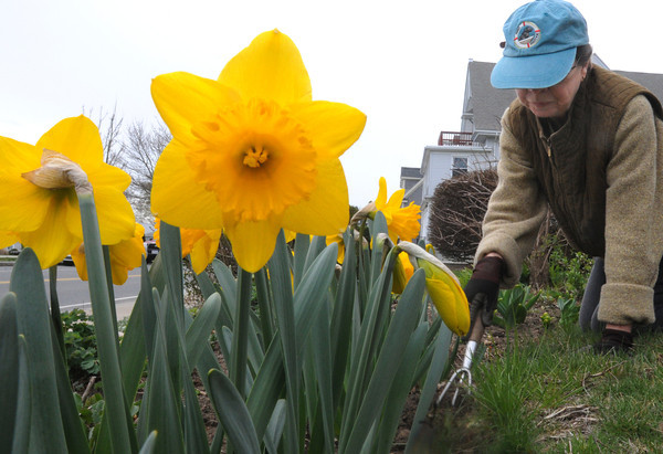 Beverly:<br /> Emily Harris is clearing her flower gardens of weeds and debris while her daffodils stand watch.<br /> Photo by Ken Yuszkus/Salem News, Monday, April 9, 2012.
