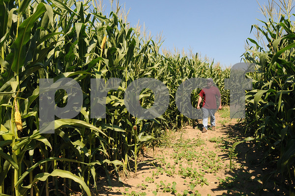 Danvers:<br /> Bobby Connors, owner of Connors Farm, walks in his corn maze. The maze will open for the first time on September 13.<br /> Photo by Ken Yuszkus/Salem News Thursday, September 04, 2008