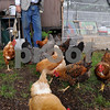 Salem:<br /> Peter Maitland lets his chickens out of the pen at Maitland Mountain Farm. He will be bringing chicken eggs and various vegetables to the upcoming Farmers Markets.<br /> Photo by Ken Yuszkus/Salem News, Wednesday, June 10, 2009.