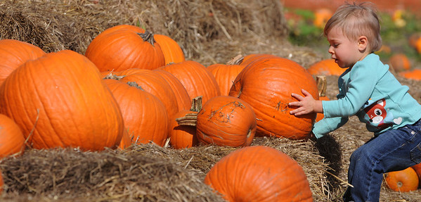 Danvers:<br /> Lorraine Anesi, 21 months old, of Quincy, falls backward as she moves a large pumpkin from the display of pumpkins at Connors Farm in Danvers Tuesday afternoon.<br /> Photo by Ken Yuszkus/Salem News, Sunday, October 11, 2011.