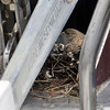 Beverly:<br /> A bird sits on a nest of five hatchlings at the bow of the 40 foot sailboat owned by Paul Lareau of Nashua, NH.<br /> Photo by Ken Yuszkus/Salem News, Wednesday, May 11, 2011.