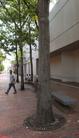 Salem:<br /> The Peabody Essex Musem plans to cut down several trees in front of the Dodge Building as part of its $200 million addition.<br /> Photo by Ken Yuszkus/The Salem News, Monday, August 13, 2012.