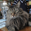 Salem:<br /> Lucy, owned by Dave Pelletier, was recently recovered after being stolen. Lucy is on the counter in front of Jeff McKee in Jeff's store, The Barking Cat, where lucy spends alot of time during the day.<br /> Photo by Ken Yuszkus/Salem News, Tuesday, April 12, 2011.