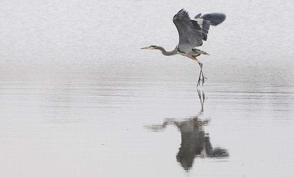 Salem:<br /> A blue heron takes flight at Collins Cove after searching for food. No wind on the gray afternoon  kept the water still in Collins Cove..<br /> Photo by Ken Yuszkus/Salem News, Tuesday,  November 16, 2010.