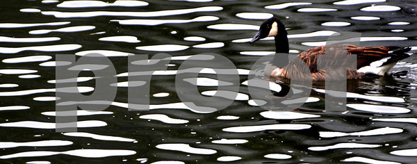 Danvers:<br /> A canada goose swims amongst the wavey geometric patterns caused by the waves on Mill pond.<br /> Photo by Ken Yuszkus/Salem News, Thursday, September 17, 2009.