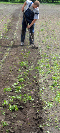 Wenham:<br /> Field manager Ben Penta is edging out the rows of strawberries and squash plants at Canaan Farm.<br /> Photo by Ken Yuszkus/Salem News, Thursday, June 7, 2012.