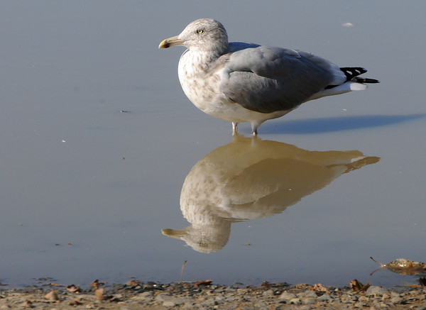 Salem:<br /> A seagull is reflected in a puddle at Salem Willows.<br /> Photo by Ken Yuszkus/Salem News, Wednesday, November 2, 2011.