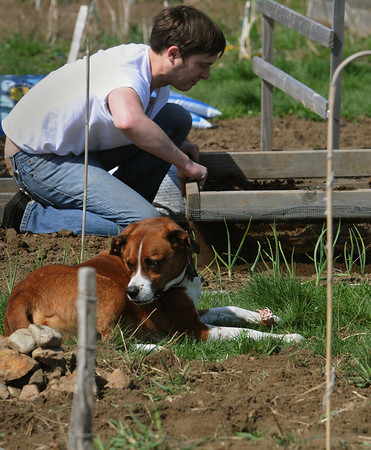 Salem:<br /> Ken Gurley sifts the soil to remove rocks in his area at the Palmer Cove Community Garden while his dog, Ollie, stays close.<br /> Photo by Ken Yuszkus/Salem News, Tuesday, April 13, 2010.