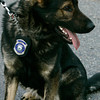 Salem:<br /> Salem Police canine K9 Thor has his own badge.<br /> Photo by Ken Yuszkus/The Salem News, Thursday, January 31, 2013.