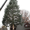 Danvers: City workers work on placing this white fir tree onto a truck, to be taken to Danvers Square. The tree was donated by Green Chiropractic in Danvers. Photo by Mark Lorenz/Salem News