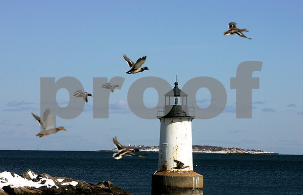 Salem: Ducks fly by the lighthouse at Winter Island, when a car pulled into the parking, scaring them off. Photo by Mark Lorenz/Salem News