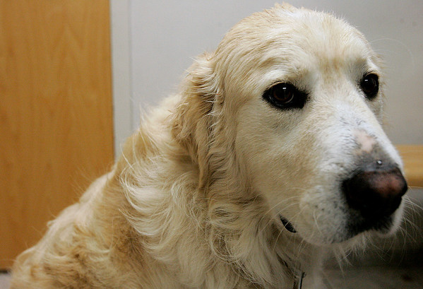 Danvers: Mackie, who was lost for three days before being found after a search by about 100 people. Mackie and owners, Mike Allen and Mary Misencik were at Danvers Animal Hospital for Mackie's appointment. Photo by Mark Lorenz/Salem News