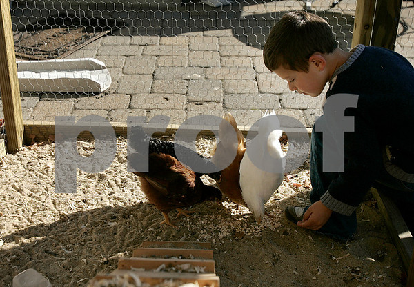 Marblehead: Jackson Selby, 5, feeds the family chickens. The family started a backyard chicken coop and decided to put a webcam in the coop. Photo by Mark Lorenz/Salem News