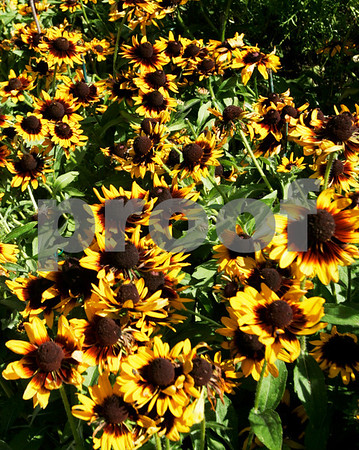 Salem: Some of the many variety of flowers, that are open to the public at Ropes Mansion. Photo by Mark Lorenz/Salem News August 13, 2008