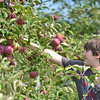 Peabody: Matthew Tranor, 12, of Salem, picks apples for a pie at Brooksby Farm. photo by Mark Teiwes / Salem News