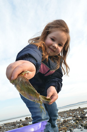 Beverly:  Madison Bowen, 5, of Beverly catches a small tidepool crab at Dane Street Beach. photo by Mark Teiwes / Salem News