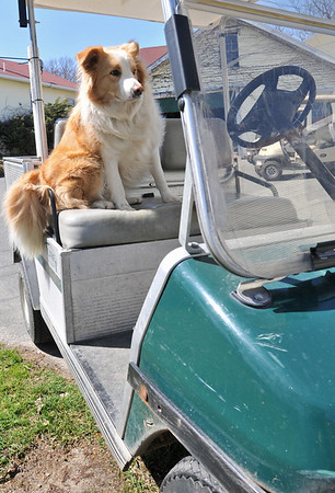 Salem:  The Kernwood Country Club enlists the help of a border collie, named Klue to chase away geese on the golf course.   photo by Mark Teiwes / Salem News