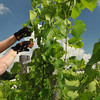 Topsfield: Mark Burns of Salem volunteers at the Alfalfa Farm Winery pruning grape vines.  A bill at the Statehouse would allow wineries to sell their wines at local farmers markets.  photo by Mark Teiwes / Salem News
