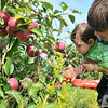 Peabody: Stephen Trainor of Salem helps his 8-month-old son Aiden picks apples for the first time Brooksby Farm.  He and other family members filled three bags that would later be used to make apple pies.  photo by Mark Teiwes / Salem News