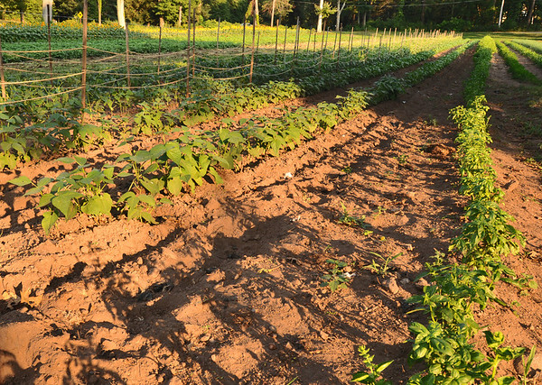 Hamilton:  The shadows grow long as the sun sets over the herbs at Green Meadows Farm.  photo by Mark Teiwes / Salem News