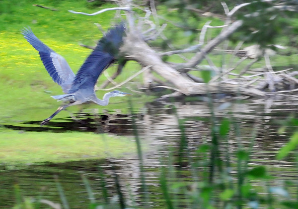 Danvers: A great blue heron takes off from the shores of the Putnamville Reservoir.  photo by Mark Teiwes /  Salem News