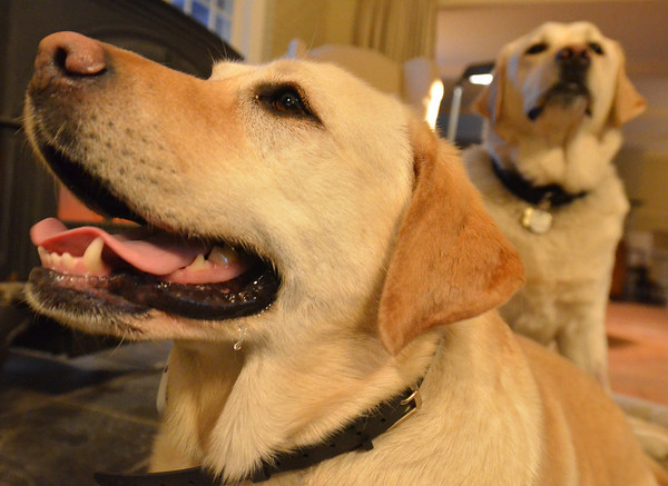 Topsfield: Freddy, left,   The Giraud's yellow lab Ginger, left, barked until help came after Freddy, right, was unable to get out of the water after breaking through ice on the edge of the Ipswich River.