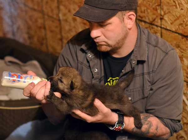 Ipswich:  Z Soffron feeds a 17-day-old wolf pups at Wolf Hollow.  photo by Mark Teiwes / Salem News