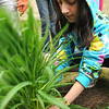 Peabody: 10 year old Alandra Ricci of Salem transplants a lilly plant in a tranquility garden at St. Church / Photo by Mark Teiwes / Salem News.