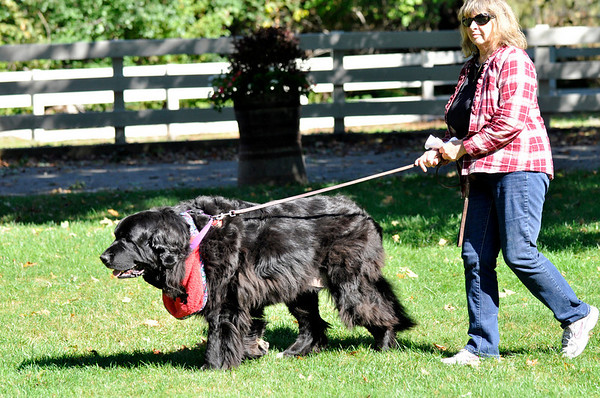 Danvers: Carole McLaughlin of Danvers walkers with Kayla, her Newfoundland on her way to pray for the dog's spine problems.