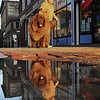 "Salem: David Liroff of Topsfield strolls down Essex Street Pedestrian Mall with ""Maxwell Bear"" his 185 pound Newfoundland dog.    photo by Mark Teiwes / Salem News"