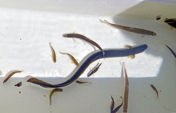 Peabody:   American eels, rainbow smelt, mummichog and stickleback were the fish caught during the annual smelt count in the North River.    photo by Mark Teiwes